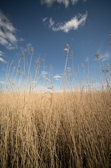 Vertical shot of a field of dry tall yellow grass with the bright calm sky in the background