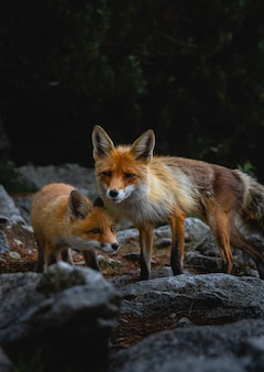 Vertical shot of foxes wandering around rocks in a forest