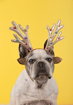 Vertical shot of a french bulldog with head christmas antlers on yellow background