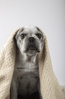 Vertical shot of a french bulldog wrapped in a blanket isolated on a white background