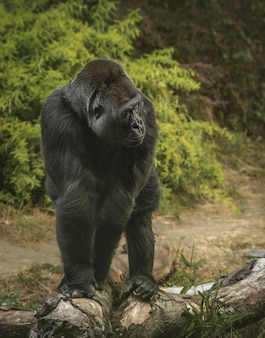 Vertical shot of a giant gorilla standing on all fours in a forest