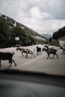 Vertical shot of a goat herd crossing the street in the countryside