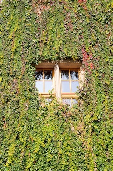 Vertical shot of green vine plants covering the wall and the glass window