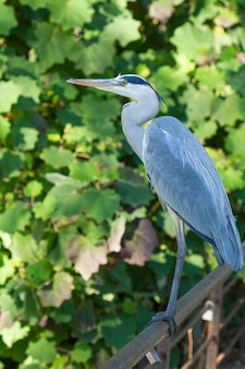 Vertical shot of grey heron, ardea cinerea
