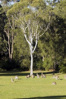 Vertical shot of a group of kangaroos standing in the sunny valley near the tree