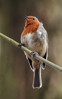 Vertical shot of a happy robin redbreast standing on a narrow branch in a forest