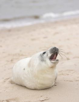Ripresa verticale di una foca arpa sdraiata sulla sabbia