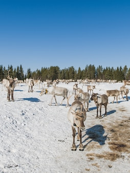 Vertical shot of a herd of deer walking in the snowy valley near the forest in winter
