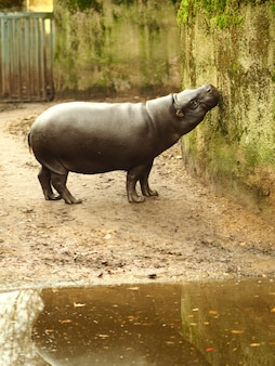Vertical shot of a hippo standing next to the water