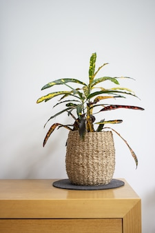 Vertical shot of a houseplant in a weaved flower pot on a wooden table against a white wall