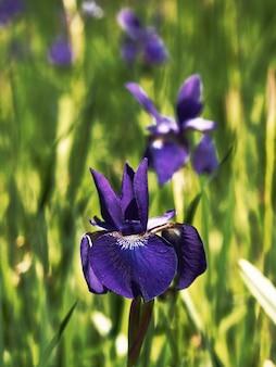 Colpo verticale di fiori di iris versicolor