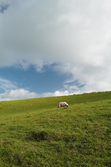 Vertical shot of an isolated cow eating grass in a big field and the cloudy sky