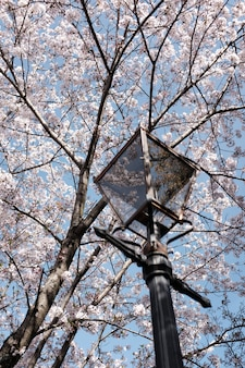 Vertical shot of a lamp under the beautiful blossoming cherry tree with the background of blue sky