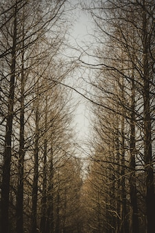 Vertical shot of a line of brown leafless trees.