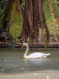 Vertical shot of a lonely swan in the pond - the concept of isolation, the new normal