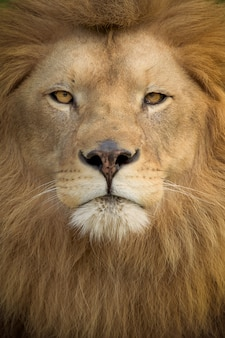 Vertical shot of a magnificent lion