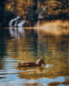 Vertical shot of a mallard duck floating on tranquil lake waters