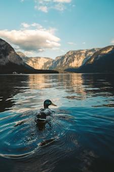 Ripresa verticale di un'anatra selvatica che nuota in un lago a hallstatt, austria