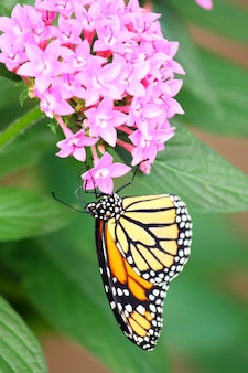 Vertical shot of a monarch butterfly feeding on pink santan flowers