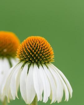 庭のブラックサンプソンエキナセアの花の垂直ショット