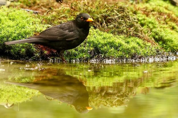 Вертикальный снимок черного дрозда, отражающегося в озере на размытом фоне