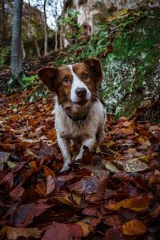 가을 숲에서 보더 콜리 강아지의 세로 샷