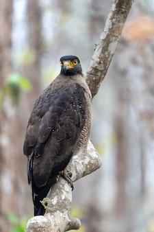 나뭇가지에 앉은 볏이 있는 뱀 독수리의 세로 샷