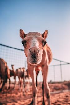 Вертикальный снимок любопытного верблюда в клетке в пустыне