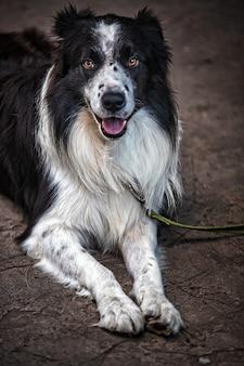 Вертикальный снимок сидящей милой собаки бордер-колли