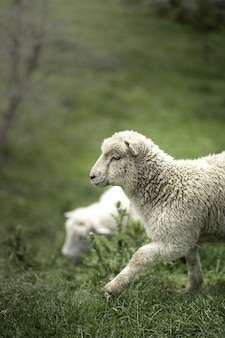 Вертикальная съемка милой белой овцы на зеленой траве