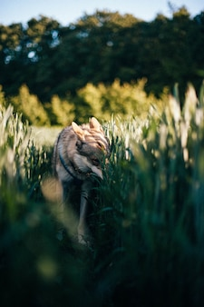 日中の背の高い草のあるフィールドでのチェコスロバキアのオオカミ犬の垂直ショット