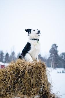 スウェーデン北部の干し草のブロックに座っている犬の垂直方向のショット