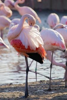 羽を掃除するフラミンゴの垂直ショット