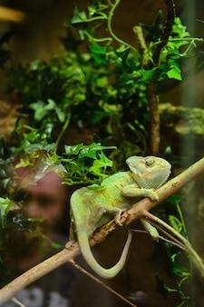 Вертикальный снимок зеленого хамелеона, сидящего на ветке дерева