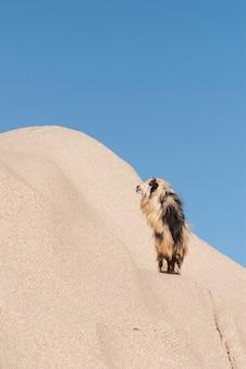 사막 모래 언덕에 털이 많은 라마의 세로 샷