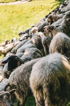 晴れた日に撮影された草で覆われたフィールドで放牧している羊の群れの垂直ショット