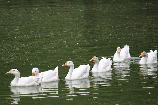 연못의 수면에서 수영하는 청둥오리의 세로 샷