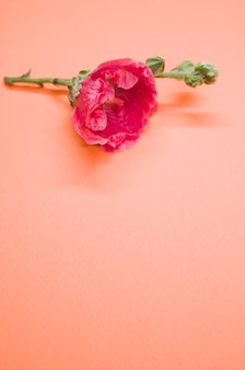 크림색 표면에 배치 된 작은 줄기에 분홍색 카네이션 꽃의 세로 샷