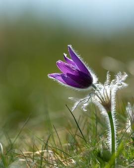 紫のオキナグサの花の垂直ショット