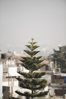 ぼやけた建物とトウヒの木の垂直ショット