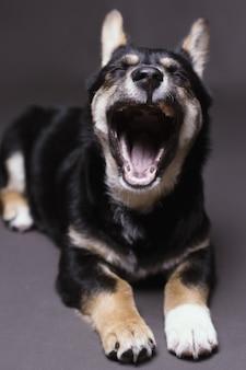 あくびをして灰色のスタジオの背景に横になっている疲れた犬の垂直ショット