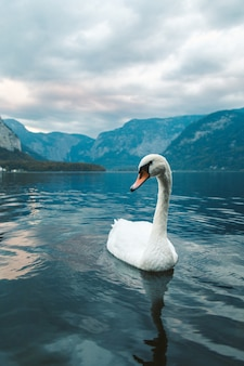 ハルシュタットの湖で泳いでいる白い白鳥の垂直ショット。オーストリア
