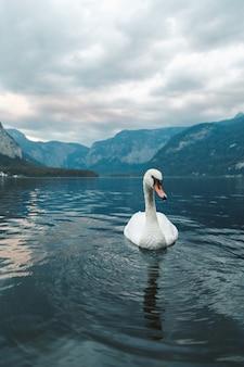 ハルシュタットの湖で泳いでいる白い白鳥の垂直ショット。