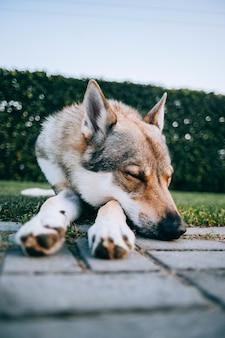 Вертикальный снимок волчьей собаки, лежащей на траве в парке