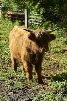 Вертикальный снимок очаровательного пушистого теленка хайленд на ферме