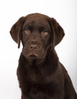 Вертикальный снимок очаровательного шоколадного щенка лабрадора на белом фоне