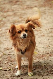 Вертикальный снимок очаровательной собаки породы папийон