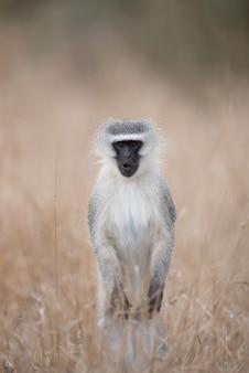 Вертикальный снимок настороженной обезьяны с черным лицом, стоящей на кустах