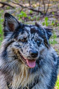 호주 콜리 강아지의 세로 샷