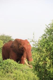 ケニアのツァボイースト国立公園の木々の横にある象の垂直ショット